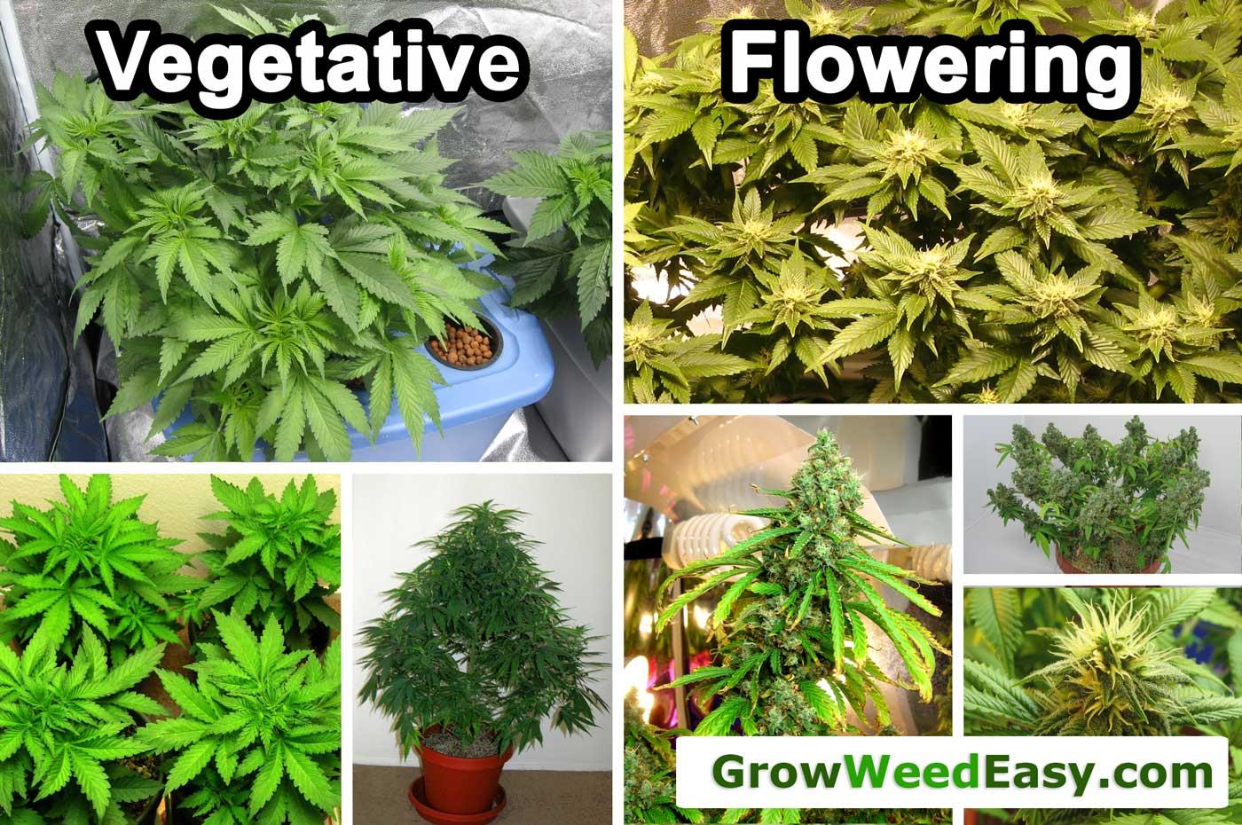 Male Vs Female Cannabis Plants Grow Weed Easy
