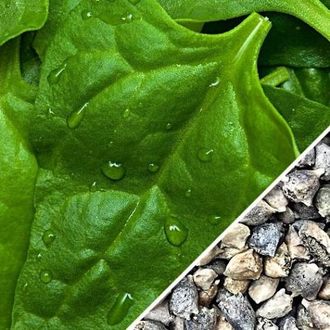 Spinach_-_New_Zealand_seeds_main_1024x1024