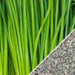 Garlic Chives by Seed Now