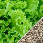 Lettuce-Salad-Bowl-Green-SN