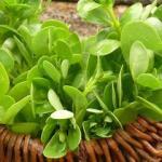 Purslane Herb for Salads