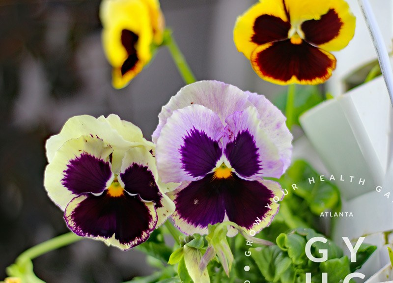 pansies grown hydroponically in Tower Garden