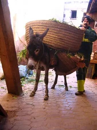 donkeys in fez