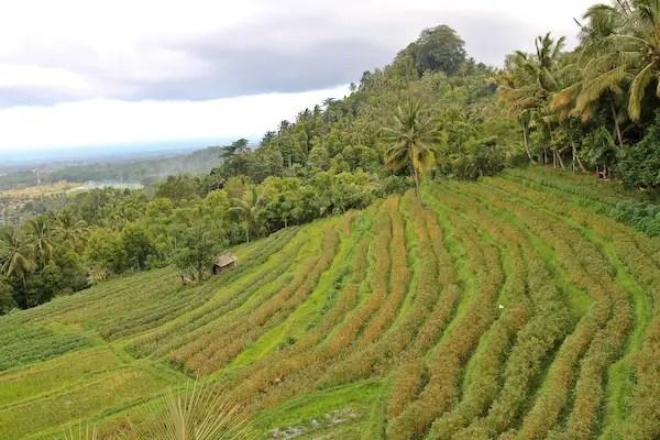 Buki Jambul bali, bali rice plantation, bali rice paddy fields