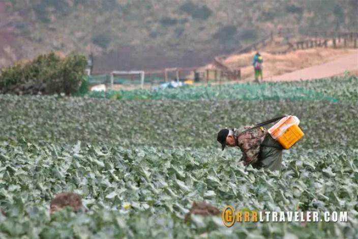 Jeju farmer