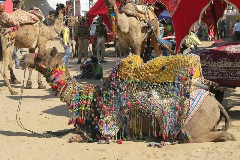 horse camps pushkar, decorated camels,decorated camels at pushkar, pushkar camels