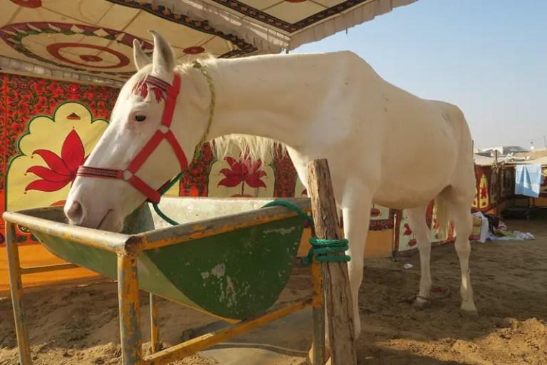 horse camps pushkar, indian horses pushkar