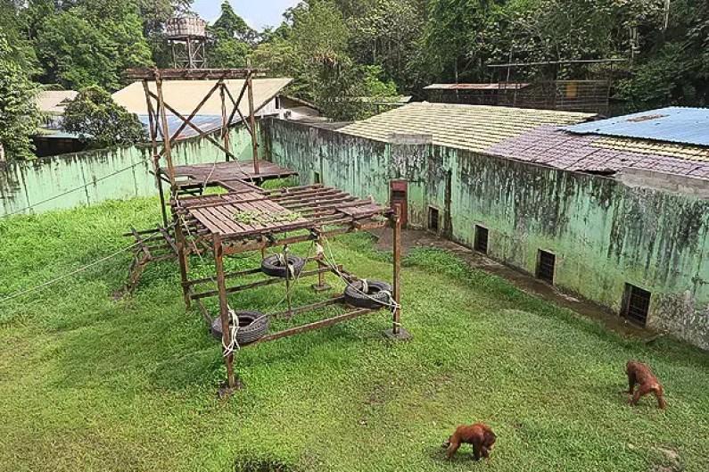 matang wildlife reserve: orangutans in rehabilitation