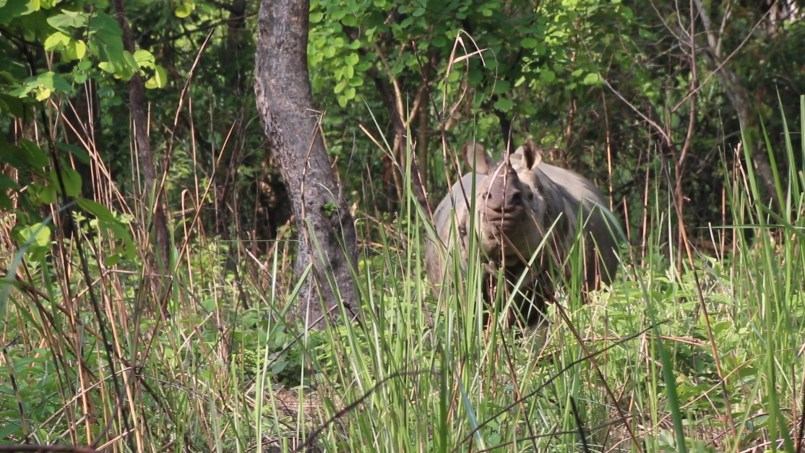 Chitwan National Park Rhino, one horned rhino