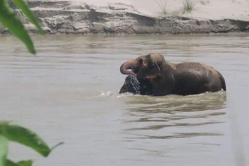 chitwan national park elephants