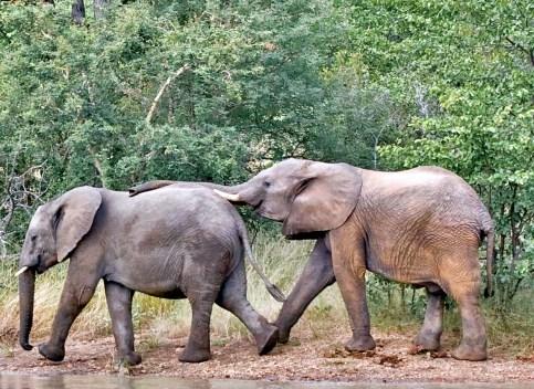elephants on the Timbavati South Africa