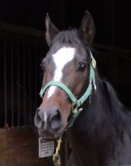 Angel-Arab/Qtr Horse