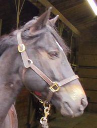Simon-- Qtr Horse/TB
