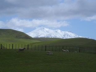 Sheep, Green mountains and snow