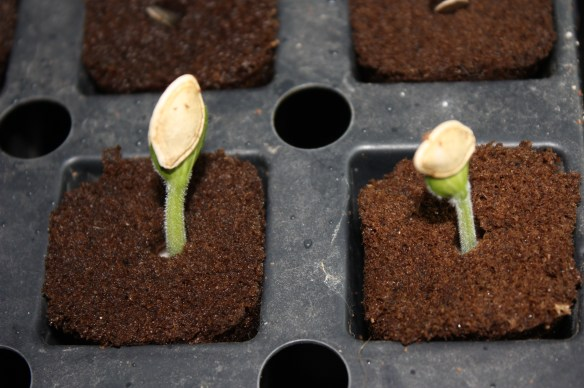 Squash Sprouts