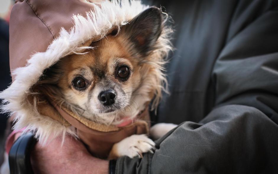 Chihuahua-Hündin Lilly auf dem Wochenmarkt in Meinerzhagen © Stefanie Schildchen