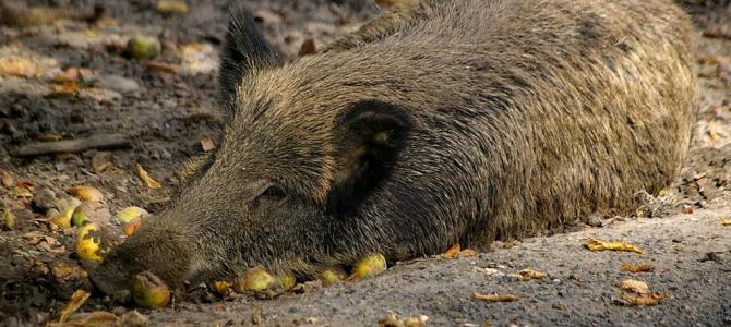 Aufruf zur verstärkten Wildschweinjagd