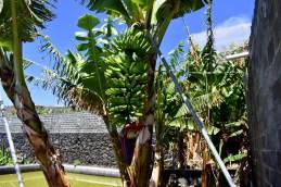 Bananenstaude - Kopie