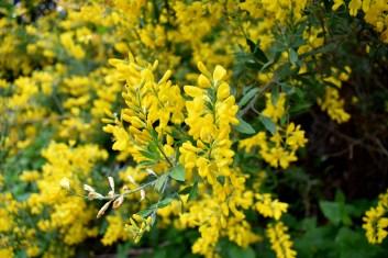 Ginster gelb - Kopie