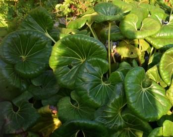 Riesige Blätter
