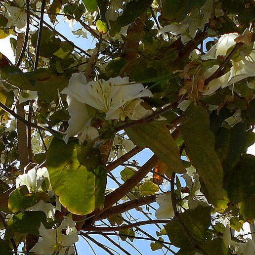 Blütenrausch weiss