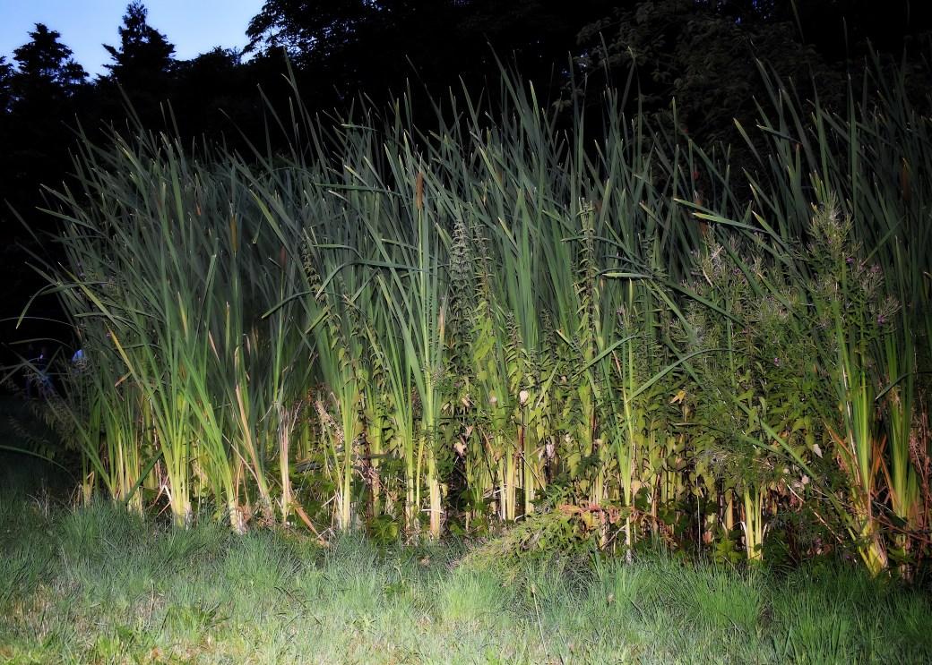 Gräser in der Abenddämmerung