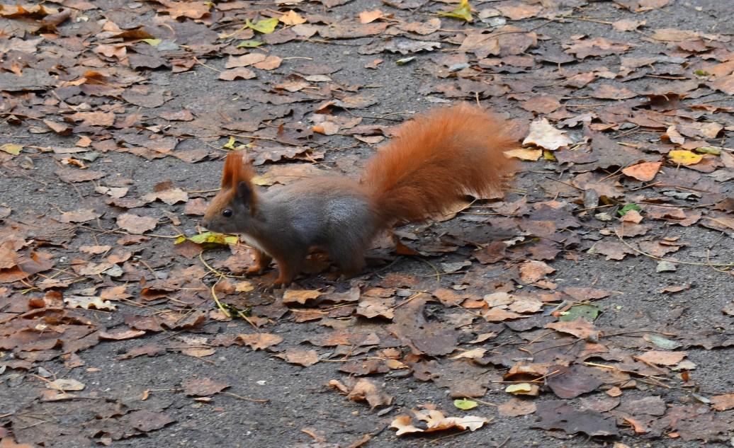 Eichhörnchen auf dem Weg
