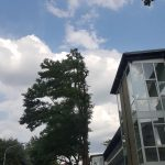 Laubbäume an der Heutorstraße wurden einseitig entastet