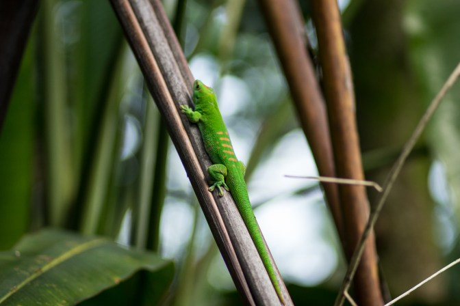 A lime green lizzard in the Rainforest hall