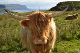 Highland Cow at Loch na Keal