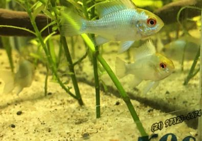 Seares Fish