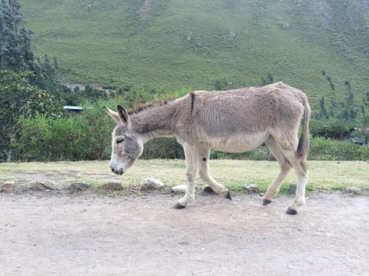 Donkey roaming