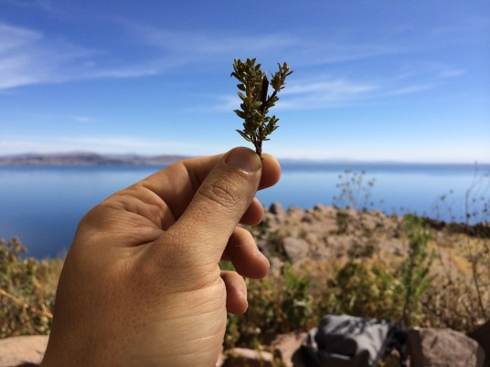Our lunch location had this spectacular view of Titicaca - That plant was inside our tea