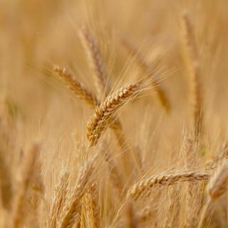 Lonja de Zamora: Subidas de hasta cinco euros en la mesa de los cereales