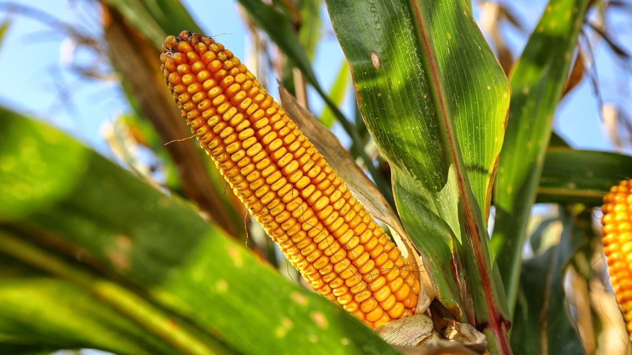 https://i1.wp.com/grupoct.com/wp-content/uploads/2021/02/corn-on-the-cob-2083529_1920.jpg?resize=1280%2C720&ssl=1