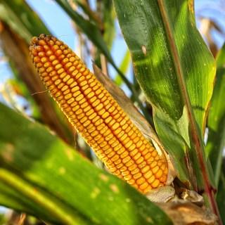 Lonja de Zamora: Se estancan los cereales, a excepción del maíz