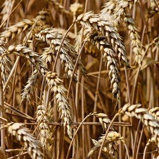 Caen los precios del cereal en los mercados locales ante la proximidad de la cosecha