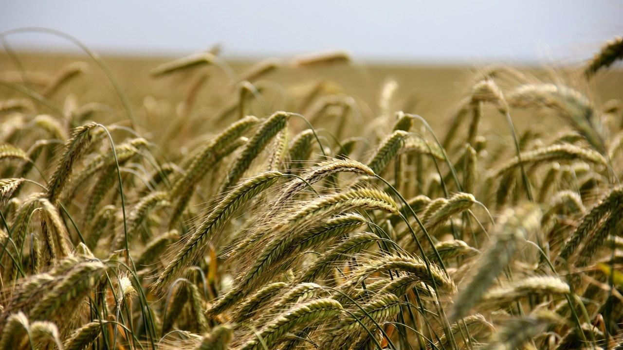 https://i1.wp.com/grupoct.com/wp-content/uploads/2021/09/wheat-196173_1920.jpg?resize=1280%2C720&ssl=1