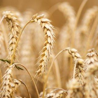 Informe USDA: Revisión a la baja de la producción mundial de trigo