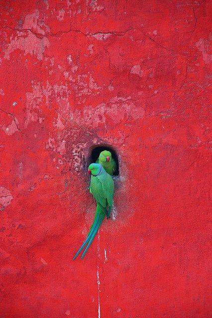 Fotografía: ©Hantar Mantar dos loros verdes en un hueco de una pared roja