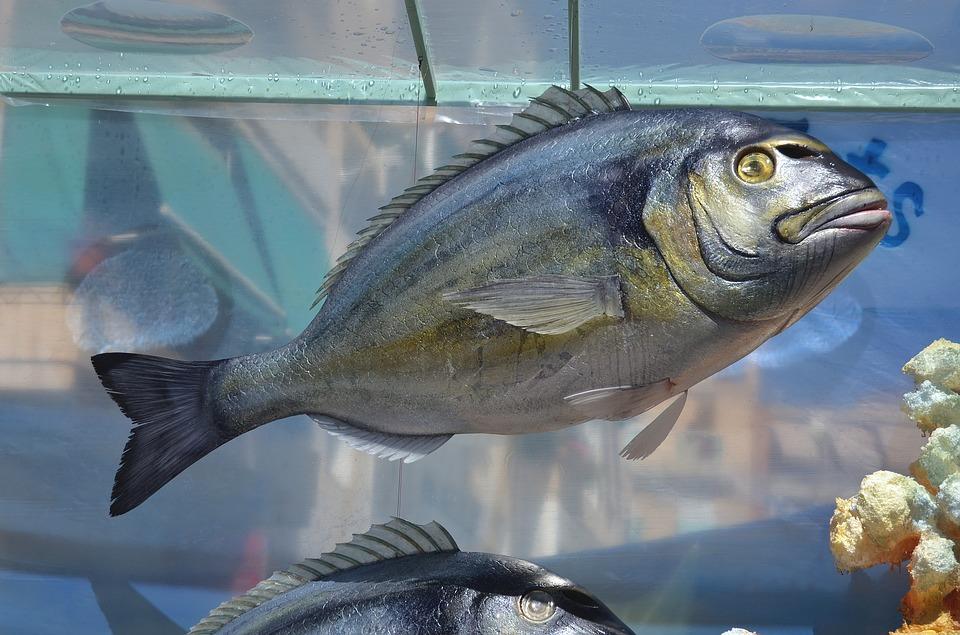 foto de un besugo en un pecera