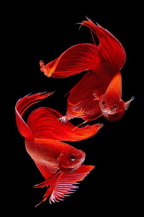 Un par de peces rojos de largas aletas sobre fondo negro