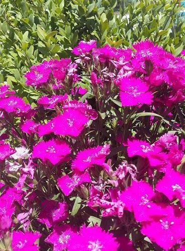 un campo de flores violetas, fotografía de Henar Tejero