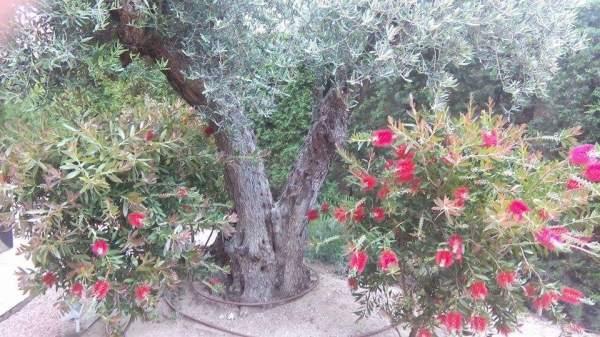 Fotografía de un olivo con el tronco en forma de v.