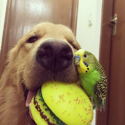 Un perro raza golden mirando a cámara y mordiendo un mordedor con forma de hamburguesa sobre el que está subido un periquito verde amarillo y negro que se frota cariñosamente contra el hocico del perro.