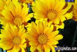 Kommunion, konfirmation, Blüte, gelb
