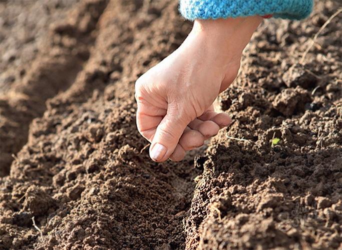 Как вырастить урожай щавеля