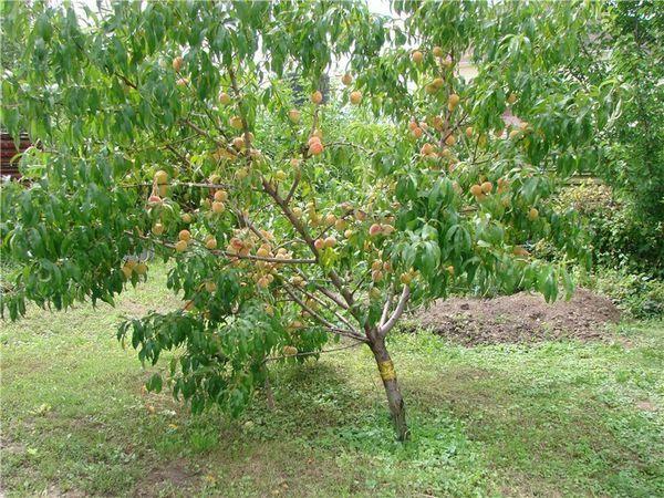 Тля на персике чем обработать