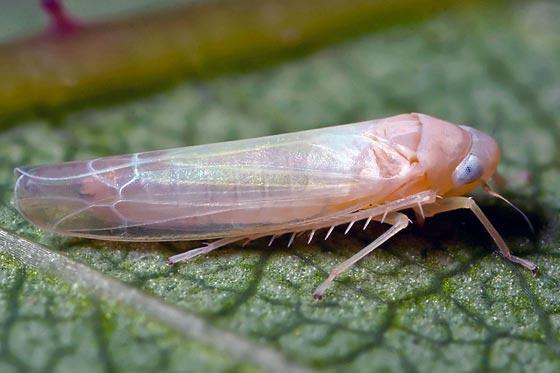 Вредители сливы: муравьи, тля, галловый клещ, листовертка