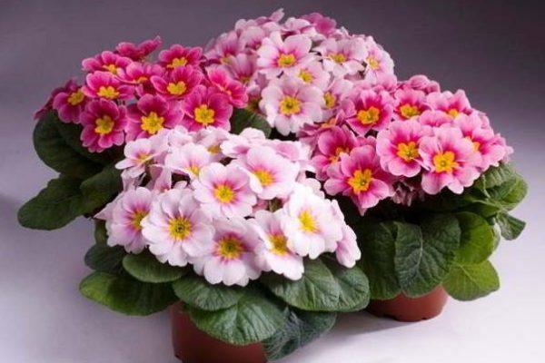 Цветущие комнатные цветы: обзор лучших растений